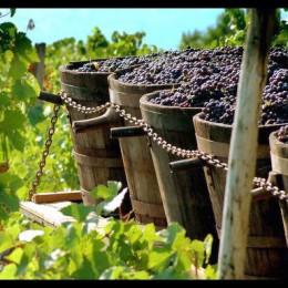 Czym tak naprawdę jest winobranie ?